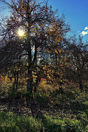 Pear Tree Nature Growth Sunlight Beauty In Nature Sunbeam Outdoors Branch Sun Tranquil Scene Day No People Tranquility Sky Flower Freshness Abandoned Places Overgrowth Pear Trees Autumn Change Low Angle View Pear Orchard Abandoned Pear Orchard