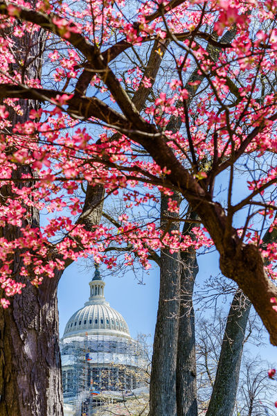 Beauty In Nature Blooming Blossom Branch Capital Cities  Capitol Hill Cherry Tree Democracy Spring Demonstration Fight Flower Fragility International Landmark My Favorite Photo Showing Imperfection Outdoors Park Peace Protest Showcase April Spring Tranquility Tree Washington, D. C. Washington