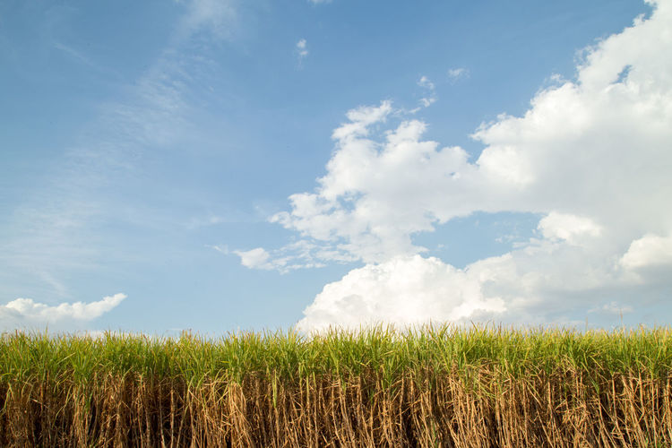 Agriculture Beauty In Nature Cloud - Sky Day Environment Farm Field Grass Green Color Growth Land Landscape Nature No People Outdoors Plant Plantation Rural Scene Scenics - Nature Sky Sugar Cane Tranquil Scene Tranquility