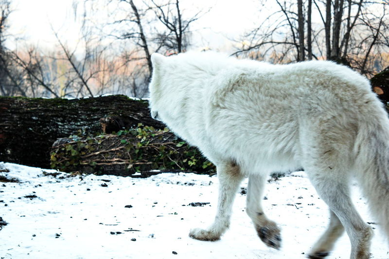 Animal Themes Beauty In Nature Cold Temperature Day Domestic Animals Full Length Mammal Nature No People One Animal Outdoors Polar Wolf Snow Standing Tree White Color Winter Wolf