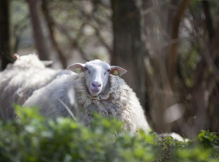 Close-up portrait of sheep on leaf
