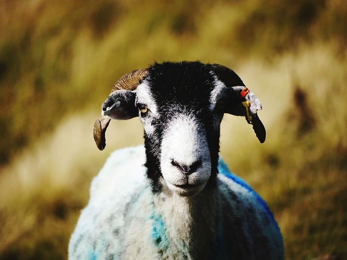 Close-up portrait of goat on land