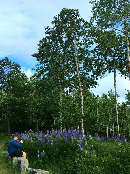 Acadianationalpark Soaking It In Lupine Birch Trees Natural Beauty Nature
