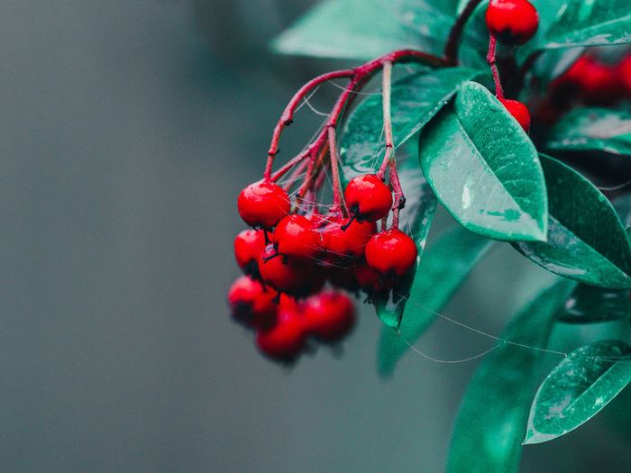 Red berries with green leaves, christmas