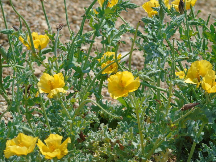 Flower Yellow Fragility Nature Freshness Yellow Horned Poppy Nature On Your Doorstep Tranquility Leaf Close-up Outdoors Sea