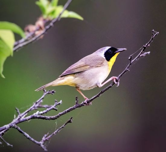 Male Yellow Throated Warbler Warbler Warbler On A Tree Wild Wildlife & Nature Bird Perching Branch Tree Songbird  Full Length Living Organism Close-up Green Background