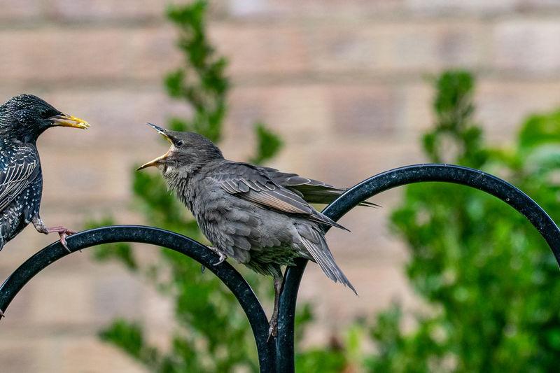 Juvenile starling, sturnus vulgaris,  demanding food from adult bird