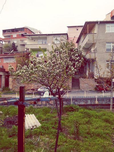 Ayva çiçek Açmış Yaz Mı Gelecek :)