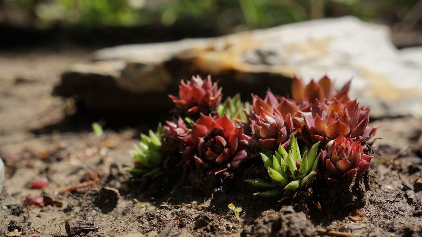 Hens and chicks succulent Low Angle View Macro Photography Beauty In Nature Close-up Day Flower Flower Head Focus On Foreground Fragility Freshness Growth Hens And Chicks Macro Nature No People Outdoors Plant Succulent Sunlight