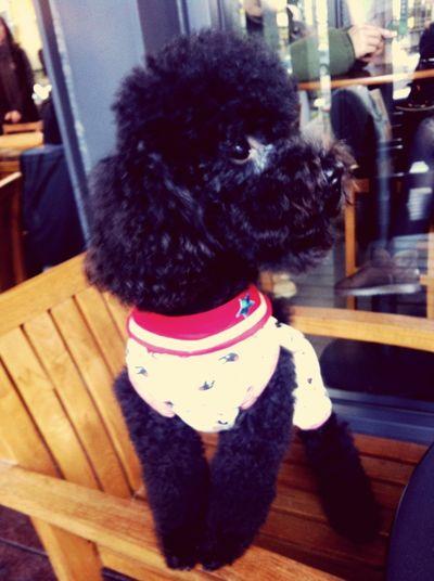 Oki Poodle Cute Dog