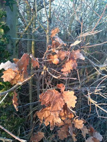 Frosty oak Frost Oak Leaves Oak Apple Leaf Autumn Nature Day Outdoors Change Tree
