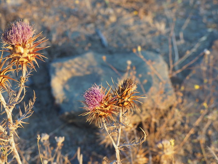 EyeEm Selects Flower Thistle Flower Head Uncultivated Close-up Sky Plant Cactus Succulent Plant Wildflower