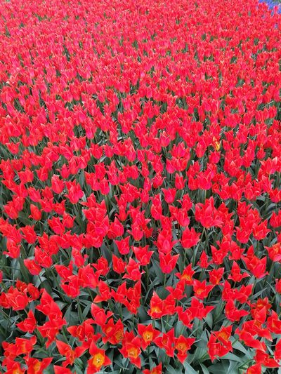 Red Backgrounds No People Flower Outdoors Flower Head Nature Turkeystagram City Konya P9leica Beauty In Nature Turkey Looking At Camera