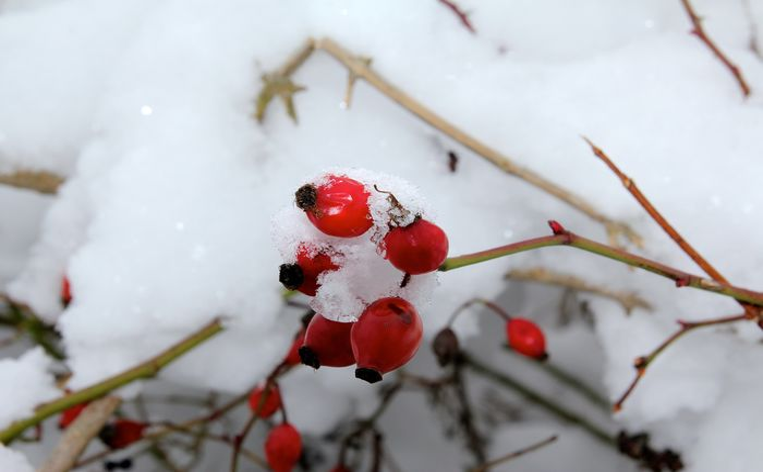 Snow ❄ Hagebutten Frosty