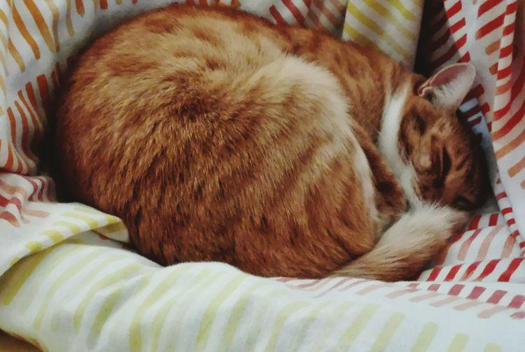 Pets One Animal Domestic Animals Sleeping Animal Themes Indoors  Domestic Cat