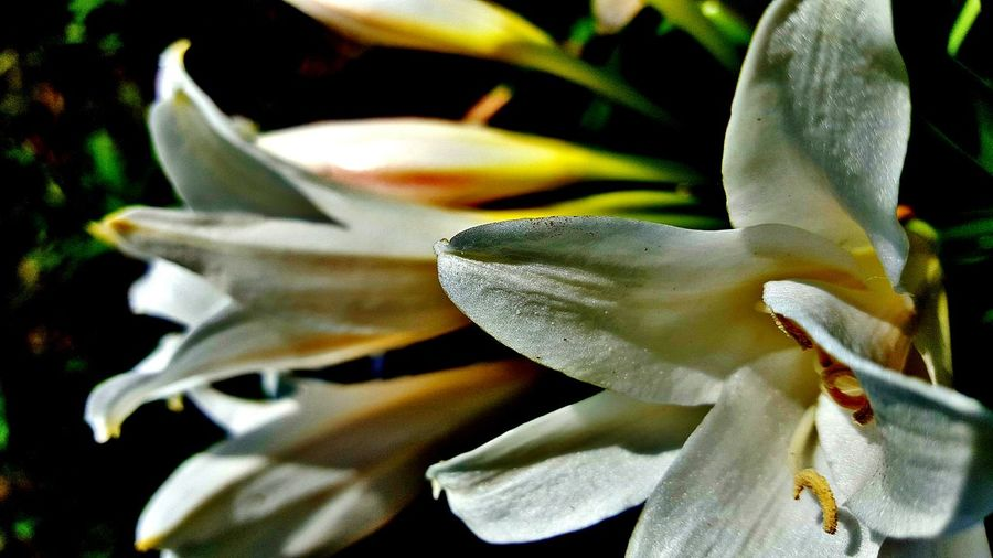 Close-up of white lilies blooming outdoors