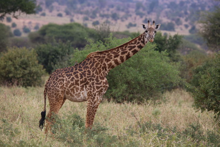 Side view of giraffe standing against plants