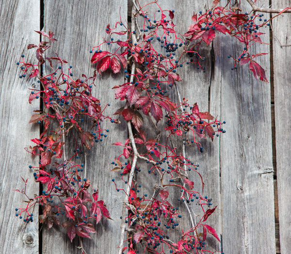 Close-up of red plant on wood