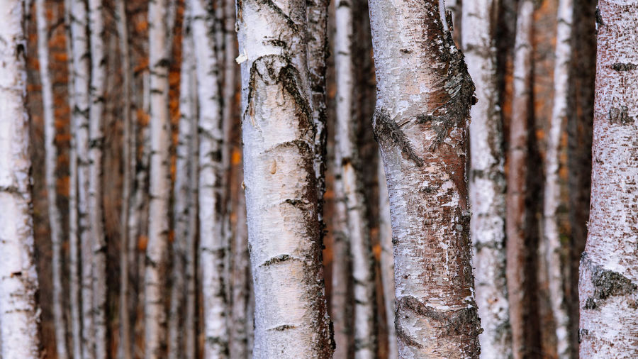 White trunks of birch trees No People Close-up Tree Trunk Outdoors Trunk Tree Nature Backgrounds Forest Plant Selective Focus Beauty In Nature Birch Trees White Details 16:9