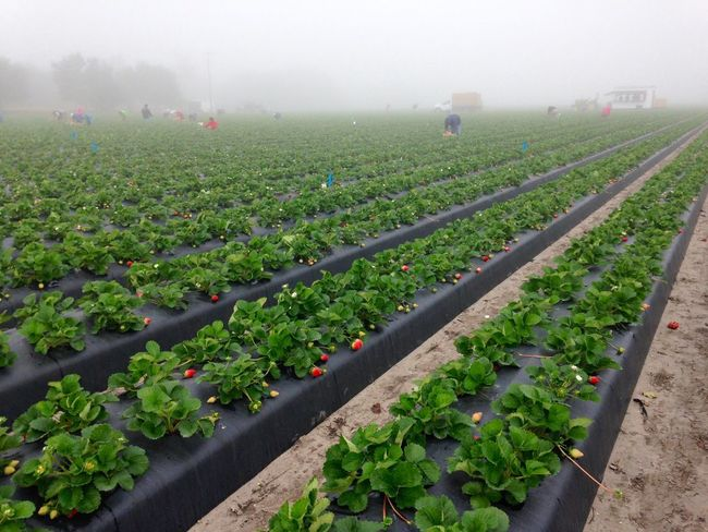 Crew harvesting strawberries for market on a commercial strawberry farm on a foggy morning. Strawberry Strawberries Farm Agriculture Farm Life Field Strawberry Field Beds Plants Fruit Red Green Black Rows Of Things Growth Food Labor In A Row Rural Scene Outdoors Foggy Morning Work Food Stories