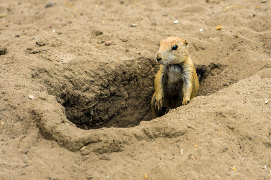 Meerkat Animal Wildlife Animals In The Wild Chipmunk Cute Day High Angle View Land Mammal Nature No People One Animal Outdoors Rock Rock - Object Rodent Solid Vertebrate