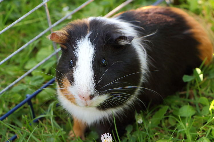 Guinea pig in grass Guinea Pig Animal Pet Garden Rodent Mammal Wire Fencing Grid White Brown Black Fur Muzzle Ear Whisker Clover Domestic