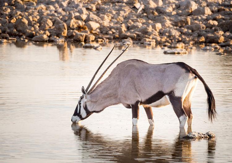 Side view of oryx antelope drinking water at etosha national park, namibia