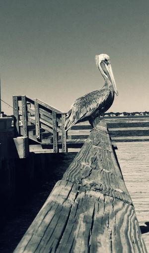 Enjoy your weekend and this pelican sitting on TGI Fence Post Friday Bnw_friday_eyeemchallenge Monochrome Fortheloveofblackandwhite