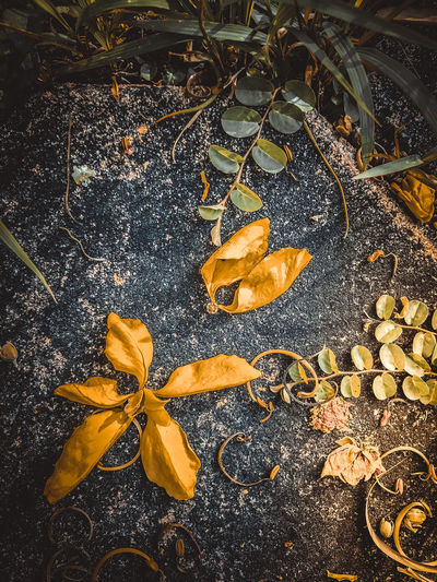 Autumn Beauty In Nature Change Close-up Day Dry Fall Falling Fragility High Angle View Land Leaf Leaves Maple Leaf Natural Condition Nature No People Outdoors Plant Plant Part Vulnerability  Wet Yellow