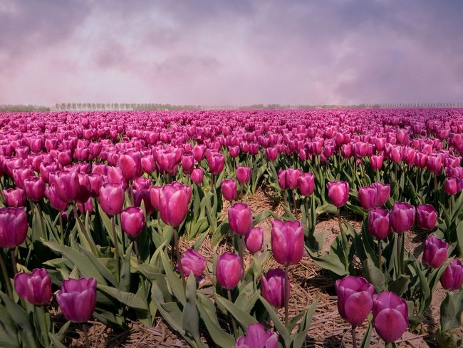 Taking Photos Tulips