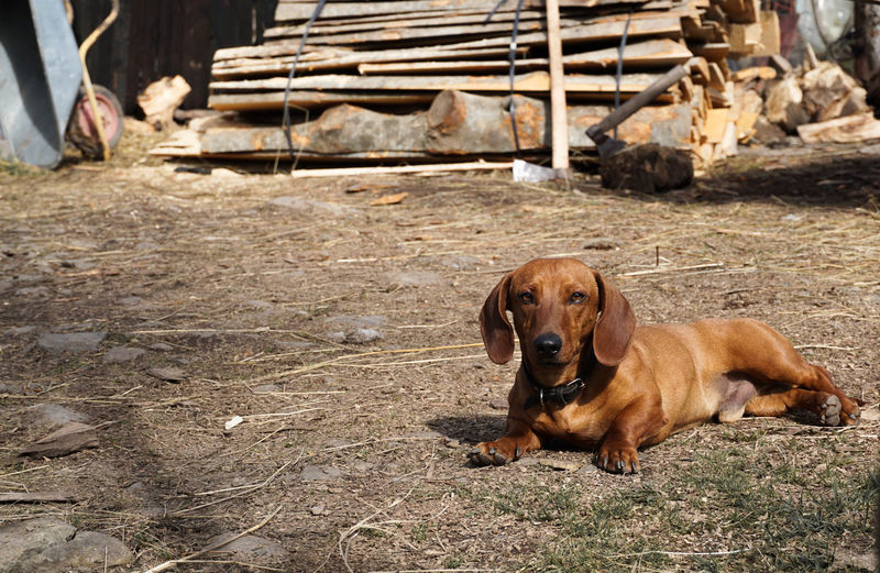 Dachshund relaxing on field
