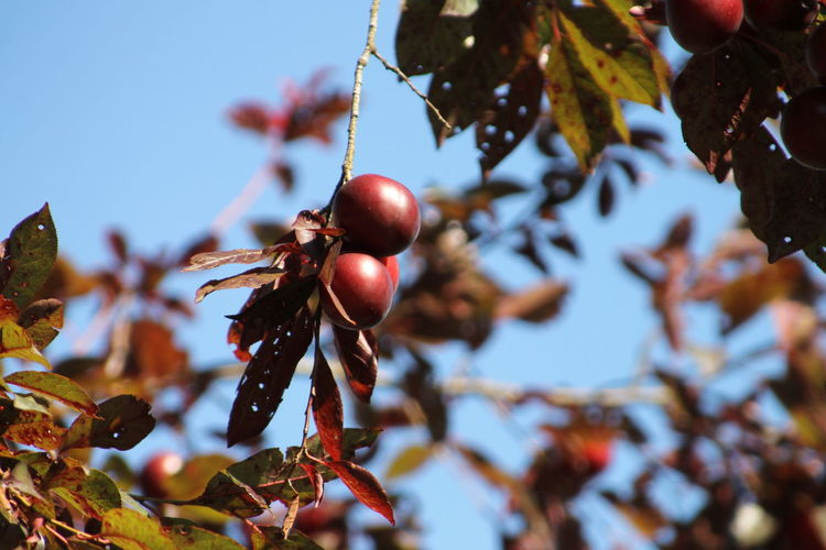 Close-up of berries hanging from tree