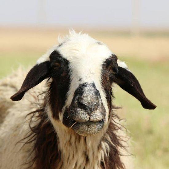 Serious Sheep 🐑 Nature Nature_shooters Naturallandscape Naturelovers Landscape Landscapelovers Travel Traveling Mustseeiran Mustseeiran_insta Esfandabad Yazd Farm