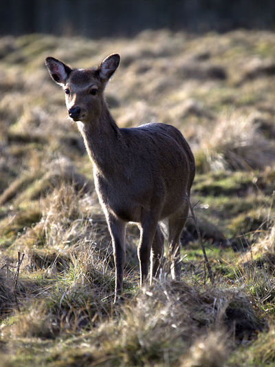 Animal Animal Themes Animals In The Wild Baby Danmark Day Deer Denmark Depth Of Field Dyrehaven Grass Jægersborg Dyrehave Lille Mammal Morning No People One Animal Petite Relaxing Small Stag Standing Wildlife First Eyeem Photo