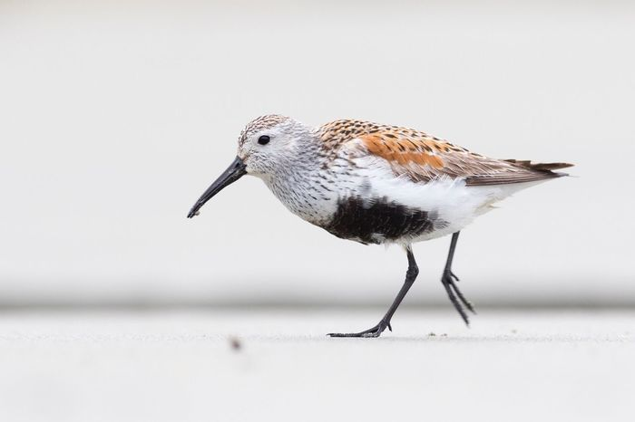A male Dunlin in breeding plumage Dunlin Tofino British Columbia Tofino Tofinobc Bird Birding Wildlife Photography Shorebird British Columbia Bc