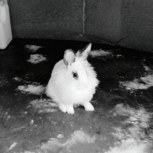 Lion Bunny Black And White