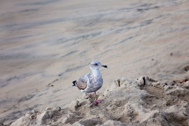 Young seagull standing on a sandy beach at santa cruz beach, california, usa