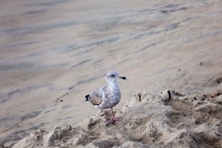 Young seagull standing on a sandy beach at santa cruz beach, california, usa