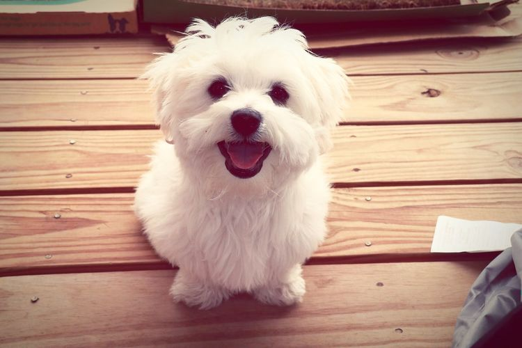 Ranger the pup! Pets White Color Cute Coton De Tulear  Cheerful Puppy Animal Themes White Puppy Sitting