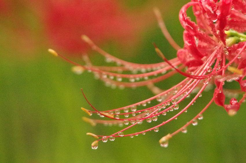 RainDrop Pentaxk3 曼珠沙華 彼岸花 巾着田曼珠沙華公園 Close-up Water Drop Wet Plant
