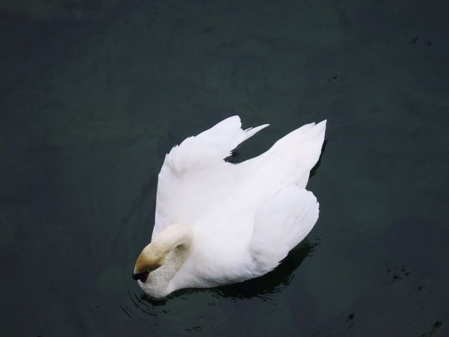 Lake Lake Lucerne Water Bird Swan From Above
