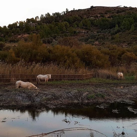 Sheep drinking water in a lake