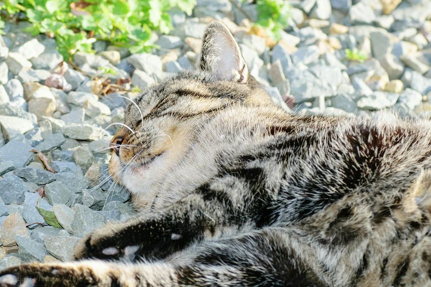 One Animal Animal Themes Domestic Animals Mammal Pets Focus On Foreground Relaxation Field Animal Head  Outdoors Day Nature Zoology No People Animal Animal Head  Feline Cat Domestic Cat Sleeping Cat Softness