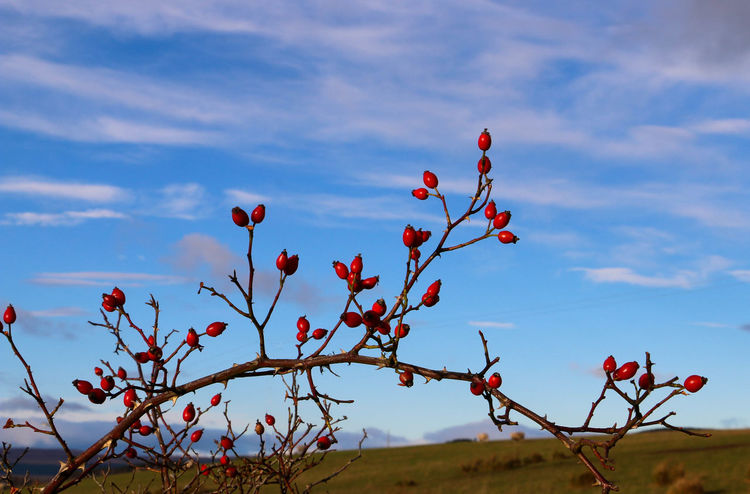 Beautiful Blue Blue Sky Bush Clouds And Sky Country Countryside EyeEm Nature Lover EyeEm Nature Lovers Eyeem Popular Photos Hawthorn Plant Plants Red Red Lips Scotland Winter