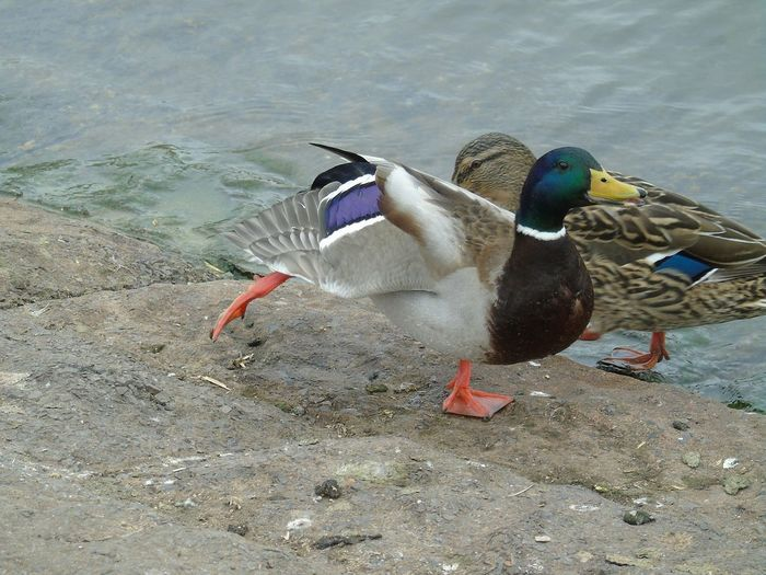 Bird Multi Colored Animals In The Wild Duck Water Lake Animal Wildlife Nature Nature On Your Doorstep Nature Chew Valley Lakes Duck Stretching