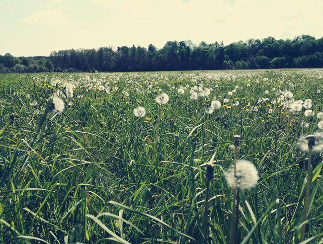 99. Pusteblumen Blumen Flowers Meadow Relaxing Frühling Forest Sonnetag Sunny Day Landschaft Gehen Colors Of Nature Baum Wald Himmel Clouds Heaven Wolken Wiese