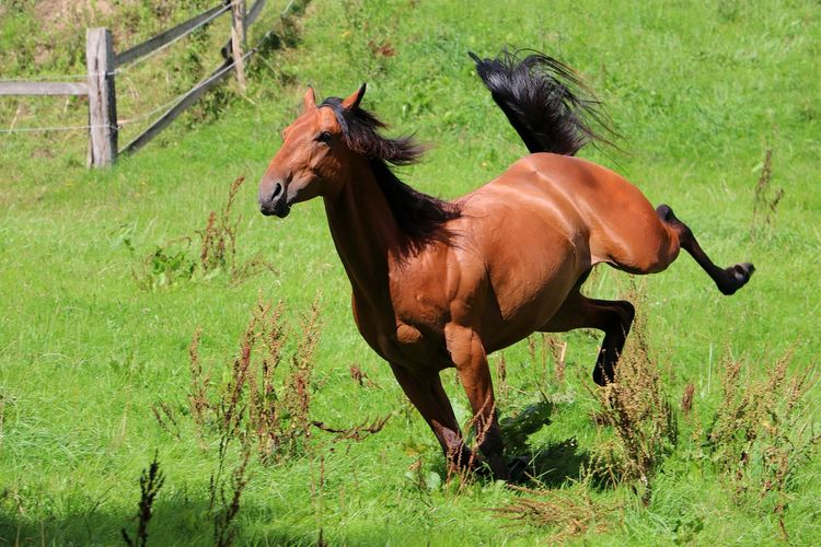 funny brown horse is running on the paddock in the sunshine FUNNY ANIMALS Quarter Horse Action Active Animal Themes Day Domestic Animals Field Full Length Grass Horse Livestock Mammal Nature No People One Animal Outdoors Paddock Quarter  Quarterhorse Rural Scene Sport Standing Tree Western
