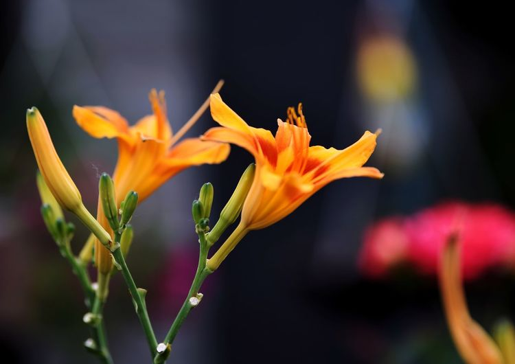 Flower Flowering Plant Fragility Vulnerability  Freshness Beauty In Nature Petal Flower Head Inflorescence Focus On Foreground No People Day Orange Color Growth Close-up Nature Pollen Botany Outdoors Plant