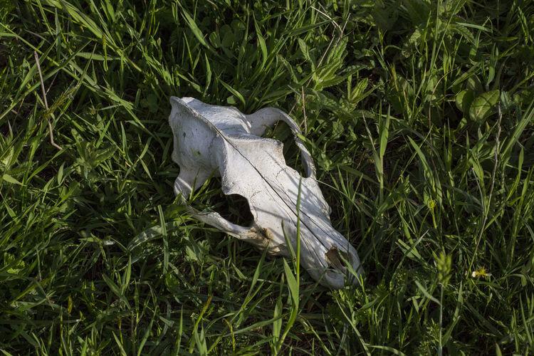 Close-up of animal skull on grass