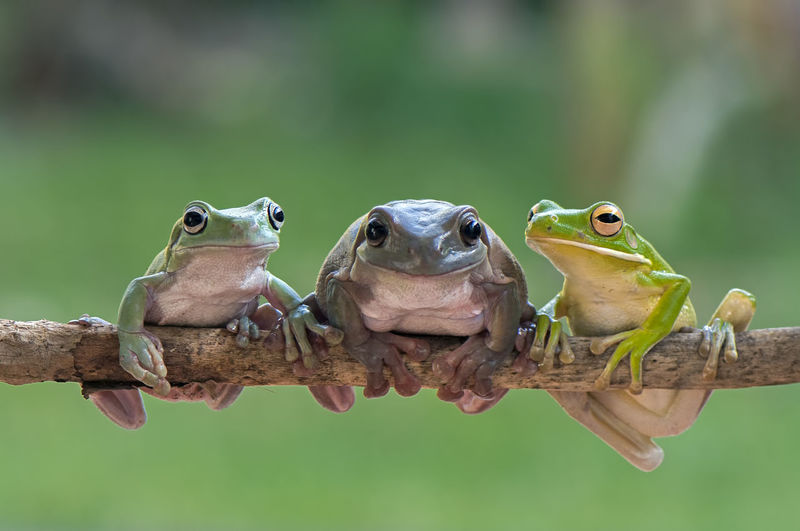 Close-up of frogs sitting on stick